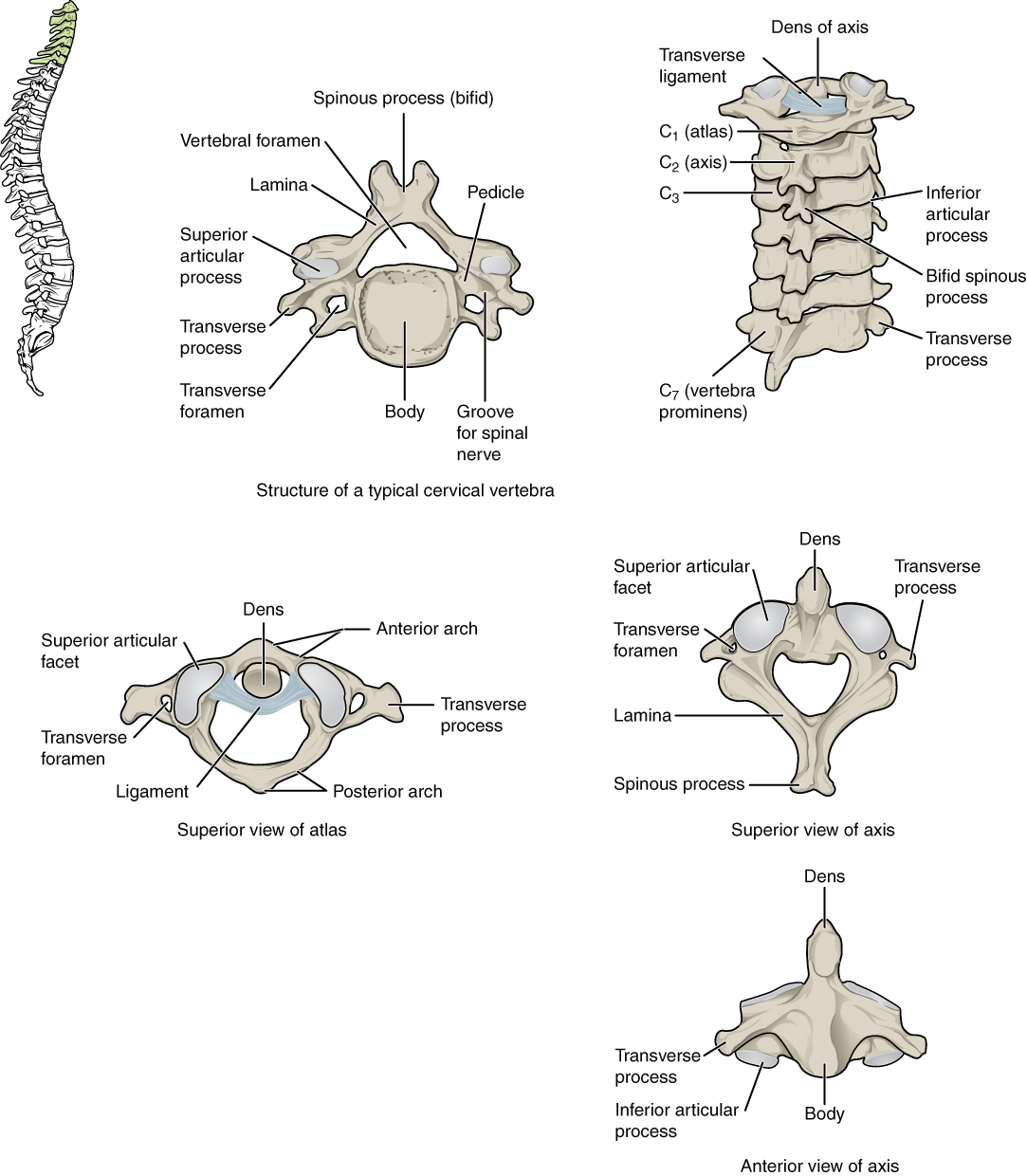 This Figure Shows The Structure Of The Cervical Vertebrae The Left Panel Shows The Location Of