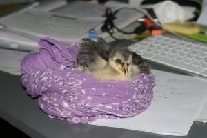 BM dort sur le bureau