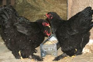 poules à la mangeoire