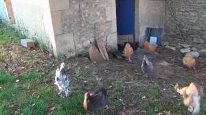 poulets sortant du poulailler