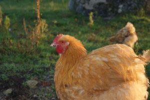 Caliméro, notre jeune coq orpington fauve