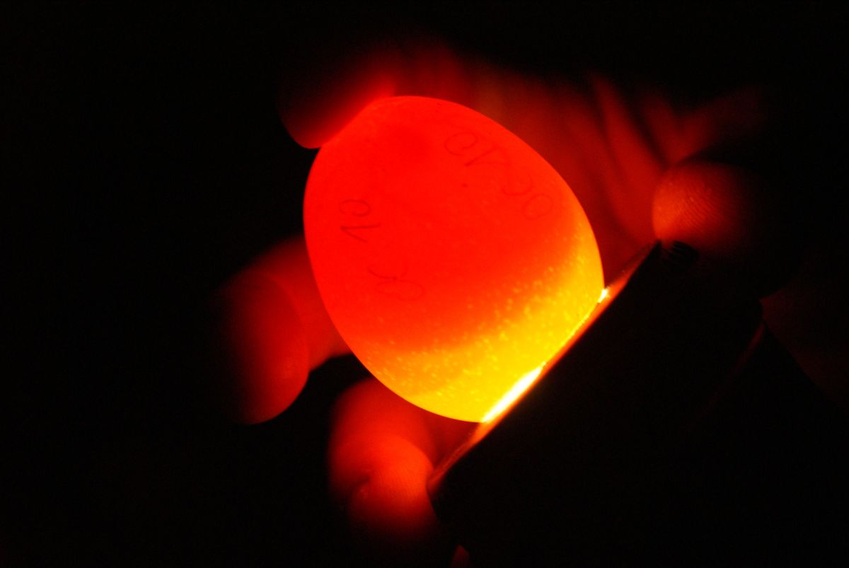 Comment savoir si les œufs en cours d'incubation contiennent un poussin ?