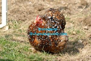 Poulette d'un an, pékin millefleur à plumage lisse