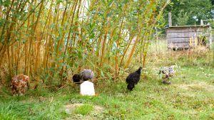 Jeunes poulets et poulettes en liberté