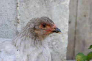 poulette brahma bleue malade