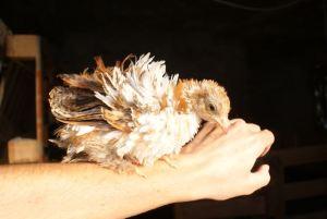 poulette pékin frisée
