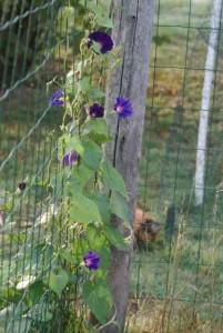 plante grimpante facile d'entretien, mais il faut protéger le pied des assauts des poules!!