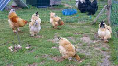 Nos brahmas fauves du parquet 1 : coq Hijo et ses 4 miss adultes. Devant c'est Ti-Luna (sans couverture)