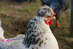 notre poule Angarade (Gnafron) et son look unique avec son regard inimitable !