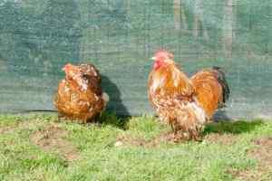 parquet 4 (prochainement) : le coq Isr'a et la poulette JJ qui sera bientôt mature.