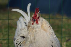 Pilou, coq nain barbu à prédominance blanche, sera associé à divers poulettes en vue de produire des poussins attrayant pour les enfants et les petits jardins