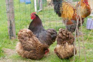 en compagnie de Treets et Picoret' les deux poules orpington chocolat