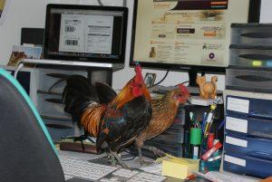 coq et poule sur le bureau !