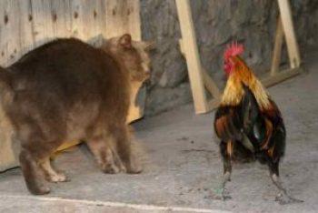 petit coq impressionnant le chat gris !
