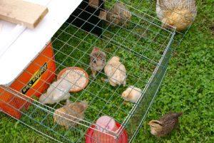 poussins en cage d'élevage sur l'herbe