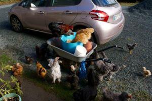 Poulets grimpés sur la brouette et dans la bassine de pâtée maison !