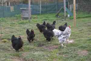 Caradoc et ses poules brahma noires