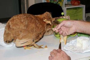 Notre poule Mascot' apprécie de dîner avec nous..... à table !