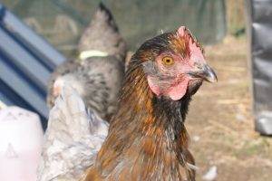 Arya : poule pondeuse grise et doré