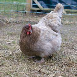 Rhum : poulette de coloris proche du lilas
