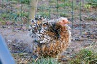 Bigoudi, poulette pékin millefleur frisée.