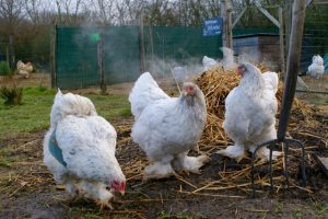 3 poules brahma splash