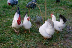 famille de poules et coqs chabo blancs à queue noire ou bleue