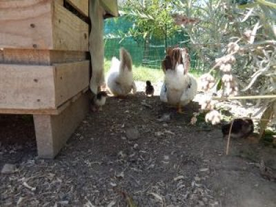 Poulettes chobo et les poussins