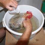 Coq prenant un bain antiparasitaire