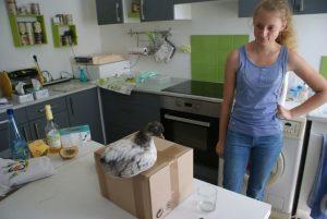 La poulette P'Ang supervise le dernier colis conditionné par Diane