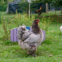 Fraggle, poule brahma bleue, de profil dans le jardin
