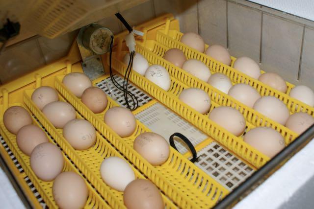 Une histoire d'œufs fécondés !