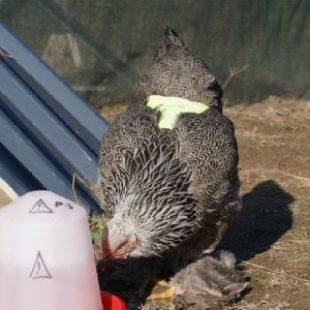 poule brahma pedrix maillé argenté