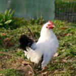 Petit coq Bing : chabo blanc à queue noire
