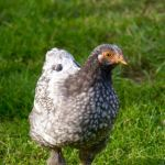 portrait de Foups, petit poulet atypique