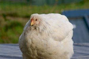 poulette brahma couchée en boule sur le toit