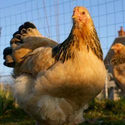 portrait de Surya : jeune poulette brahma fauve
