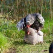 Poule et coq en action pour la reproduction