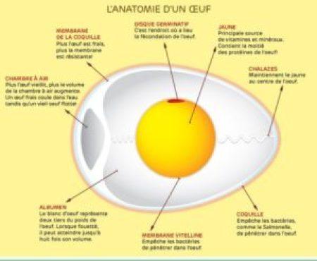 schéma de coupe longitudinale d'un œuf de poule