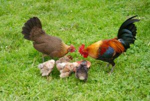 poule et coq s'occupant à nourrir leurs 4 poussins