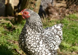 poule wyandotte argentée à liseré noir de 1 an