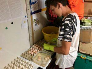 Tom nettoie les oeufs fécondés dans une solution spéciale