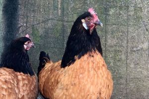 portrait de miss Turbo : poule vorwerk