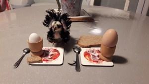 Poussin à table prêt pour manger des oeufs à la coque !