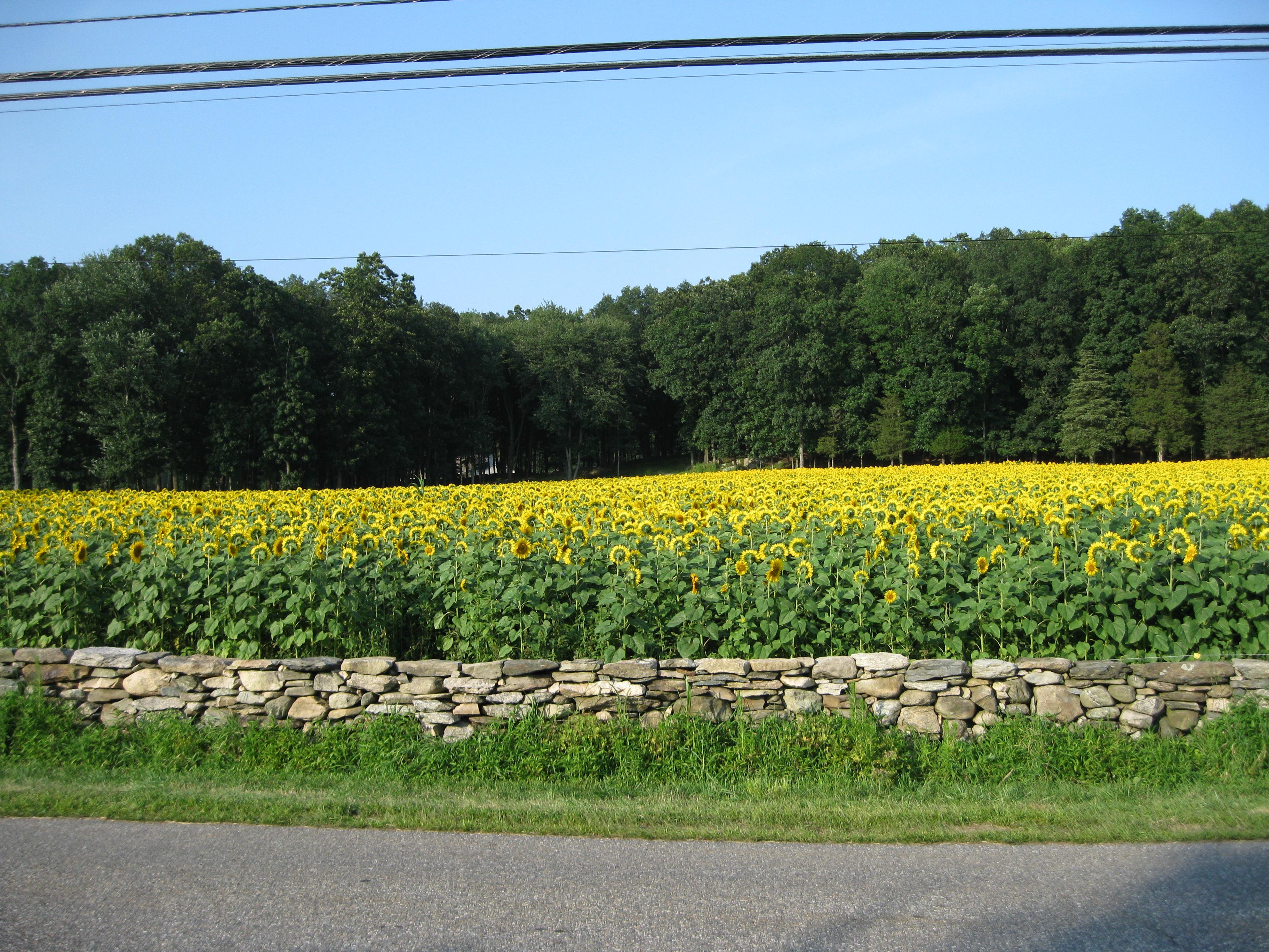 Sunflowers 013
