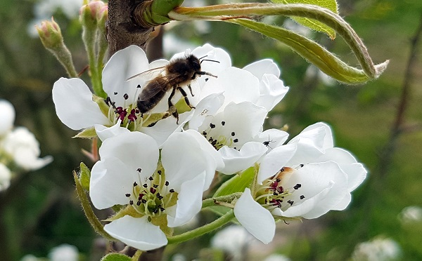 Native Irish Honey Bee Apis mellifera mellifera on Pear Blossom