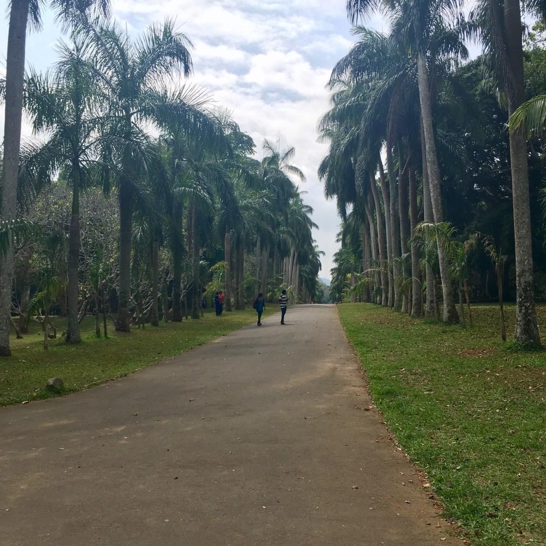 Path lined with tall palm trees at Royal Botanical Gardens in Peradeniya Sri Lanka