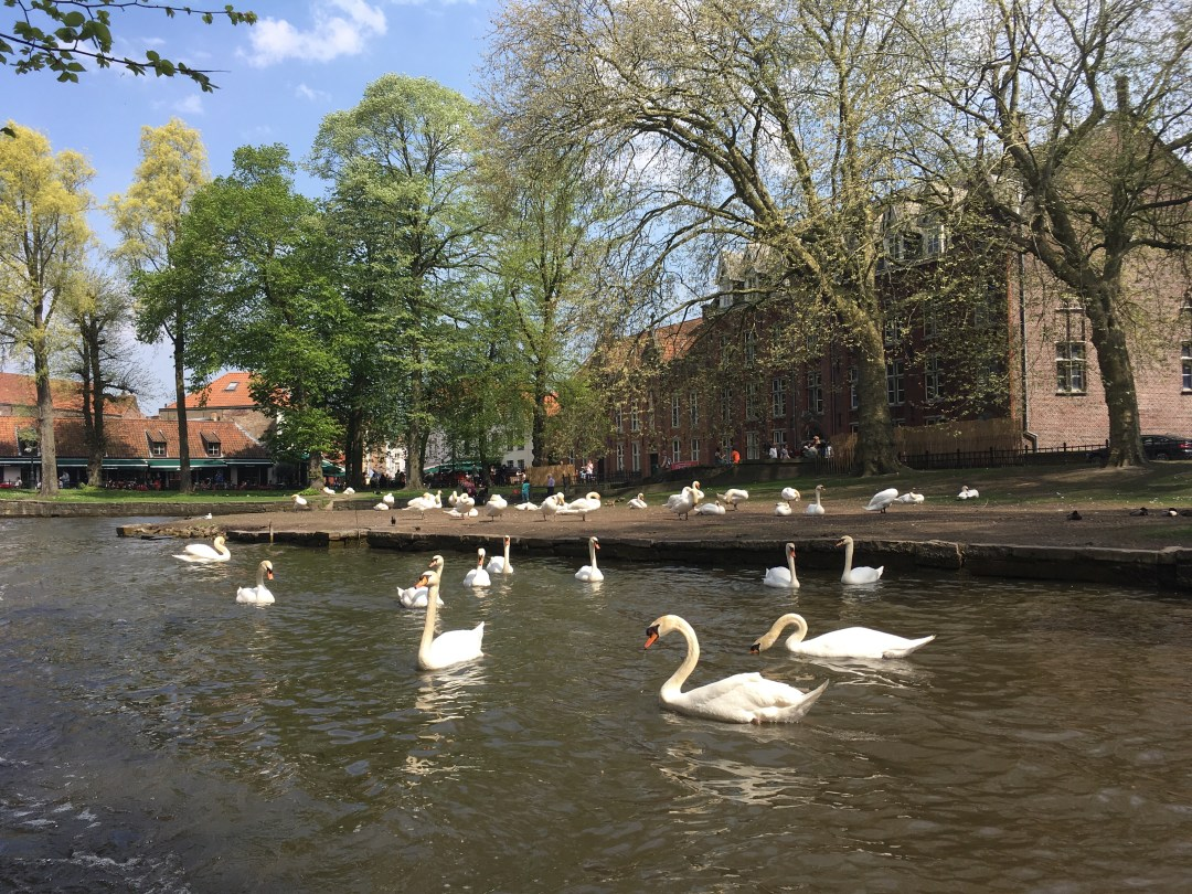 Swan in Bruges canal