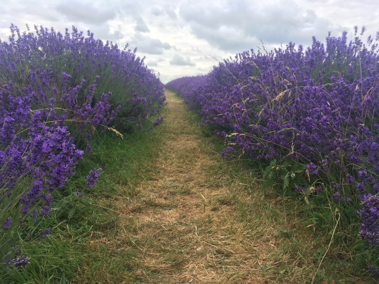 A path through the lavender fields at Mayfield Lavender Farm