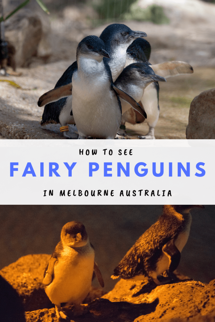 How to see fairy penguins in Melbourne Australia